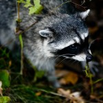20081012-raccoon-stanley-park_mg_1083